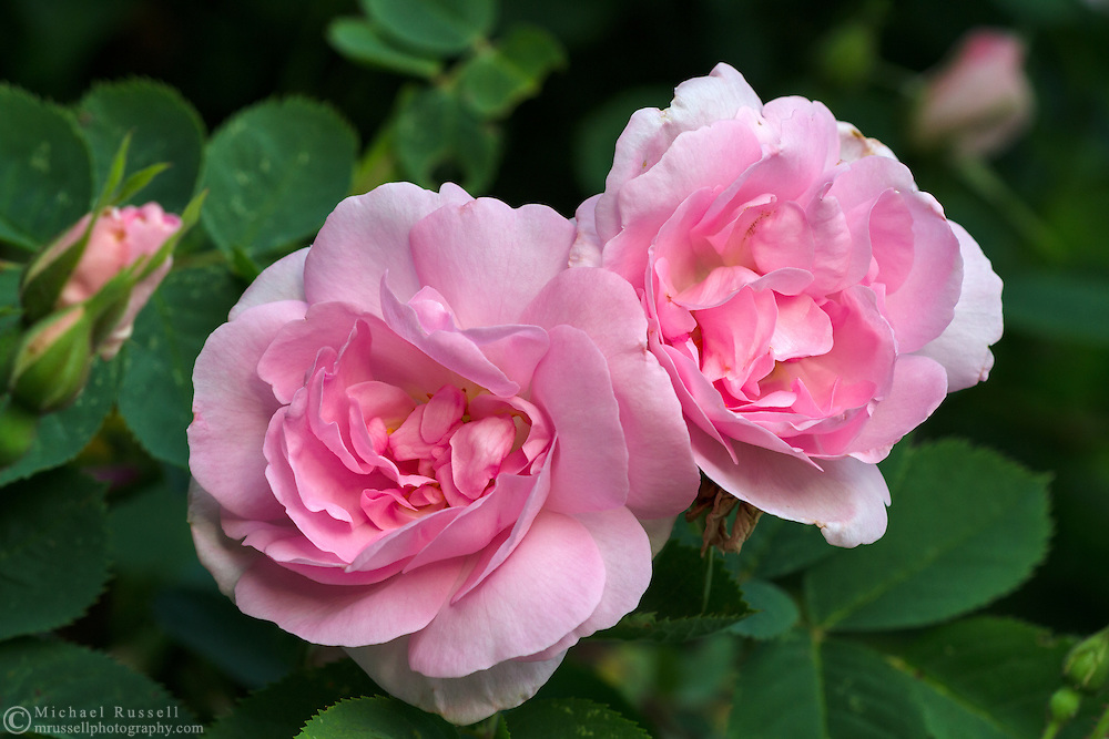 Old Garden Rose 'Celestial' flowering in the spring