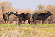A herd of wild Water Buffaloes (Bubalus bubalis). Photographed in Ein Afek nature reserve, Israel