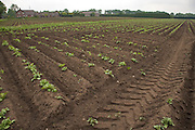 a large field with rows of young potato plants Europe Holland