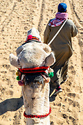 A guide leads a camel on a tourist ride at the Giza Pyramid Complex, Giza, Egypt.