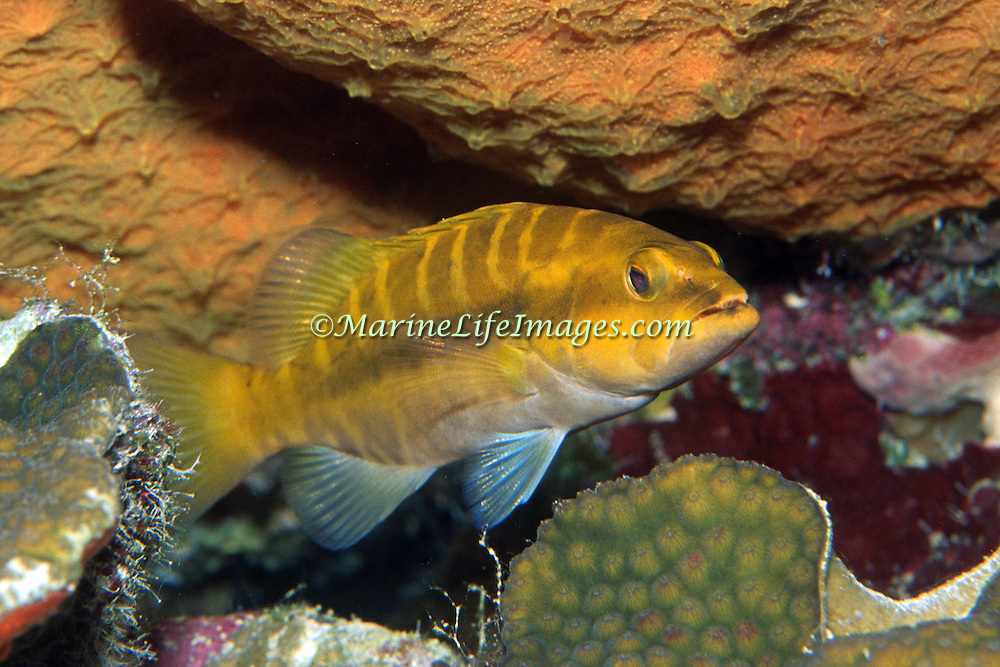 Tiger Groupe, sub-adult, inhabit reefs in Tropical West Atlantic; picture taken Grand Cayman.