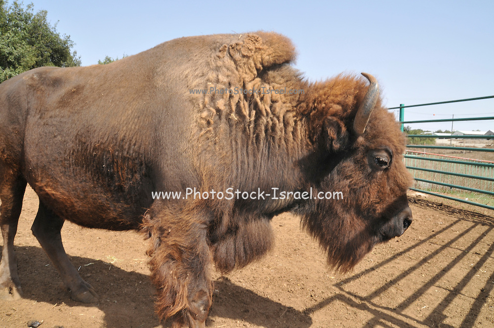 American Bison (Bison bison) in a cage
