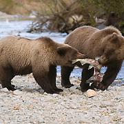 Alaskan Brown Bear (Ursus middendorffi) mother and cub playing tug-o-war with a salmon fish. Katmai National Park, Alaska