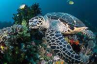 A Hawksbill Sea Turtle pauses briefly while foraging for food.<br /> <br /> Shot in Indonesia