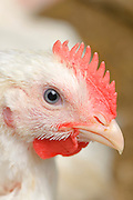 White hen with red crest