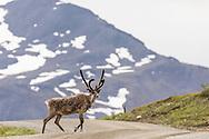 Caribou (Rangifer tarandus) crossing the park road at Highway Pass in Denali National Park in Interior Alaska. Summer. Afternoon.