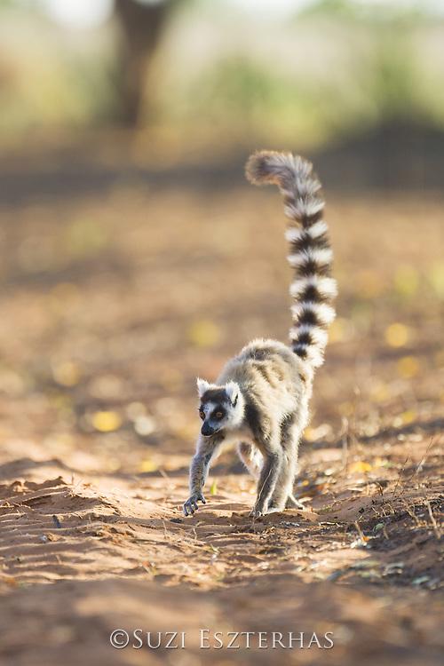 Ring-tailed Lemur<br /> Lemur catta<br /> Berenty Private Reserve, Madagascar