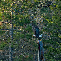 A bald eagle flies from a pine stump beside Lake of the Woods, Ontario, Canada.