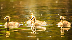 Four Goslings Swimming On The water With Momma Goose Nowhere In Sight