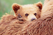 Little grizzly bear cub stays close to its mother.