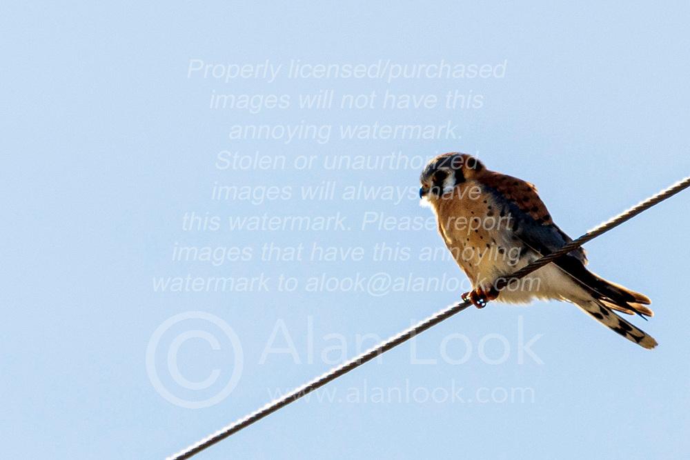 American Kestrel Adult Male (Falco sparverius)