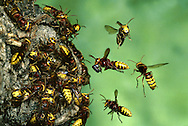 Hornet Colony - Vespa crabro at nest entrance