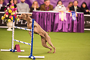 New York, NY - 8 February 2014. Storm, a Weimaraner, about to jump a rail in the agility trials. Storm was later disqualified after missing a jump.