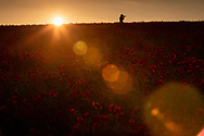 A woman takes photos in a field of poppies near Goodwood, West Sussex as the sun sets.<br /> Picture date Thursday 24th June, 2021.<br /> Picture by Christopher Ison. Contact +447544 044177 chris@christopherison.com