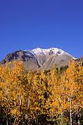 Yellow fall aspens under fresh snow on Lassen Peak, Cascade Mountains (Pacific Ring of Fire), Lassen Volcanic National Park, California