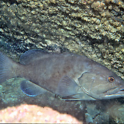 Gag Grouper inhabit rocky outcorppings and undercuts in reefs in Florida to Massachusetts; picture taken Jacksonville, FL.
