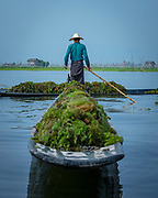 Weed harvesting on Lake Inle, Myanmar / Burma. Both to clean the waterways on this shallow lake and also to help (re)build the floating gardens and to provide fertilizer to the many crops for the local Intha people