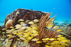 Schooling French Grunts, Haemulon flavolineatum, Bluestriped Grunts, Haemulon sciurus, and Lane Snappers, Lutjanus synagris, over Sugar Wreck, the remains of an old sailing ship that grounded many years ago, encrusted with Sea Rods and Brain Corals, West End, Grand Bahamas, Atlantic Ocean