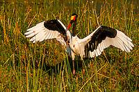 Saddle-billed stork flapping it's wings, near Kwara Camp, Okavango Delta, Botswana.