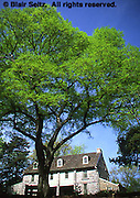 Historic Bartram's Gardens, Hackberry Tree, celtis accidentals, Bartram's House,  Quaker Botanist, Philadelphia gardens and arboretums, Philadelphia, PA