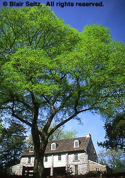 Historic Bartram's Gardens, Hackberry Tree, celtis accidentals, Bartram's House,  Quaker Botanist, Philadelphia gardens and arboretums, Philadelphia, PA