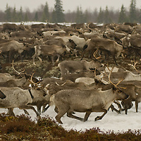 North of the Arctic Circle in Russia, domesticated reindeer charge across an interface of tundra and taiga forest near Snopa village, herded by a nomadic Komi clan.