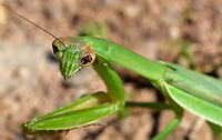 Blind Praying Mantis. Image taken with a Nikon D200 camera and 200 mm f/4 macro lens (ISO 400, 200 mm, f/11, 1/500 sec).