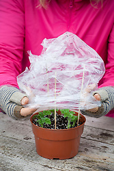 Taking cuttings from scented leaved pelargoniums - Pelargonium 'Attar of Roses' AGM. Covering cuttings with a plastic bag.