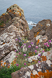 Wild Chives and Sheep's Bit Scabious  growing on cliffs near The Lizard Peninsula, Cornwall. Allium schoenoprasum, Jasione montana syn. Alepidea ciliaris