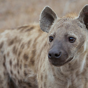 Spotted Hyena walking in Londolozi Game Reserve. Sabi Sand Game Reserve, South Africa.