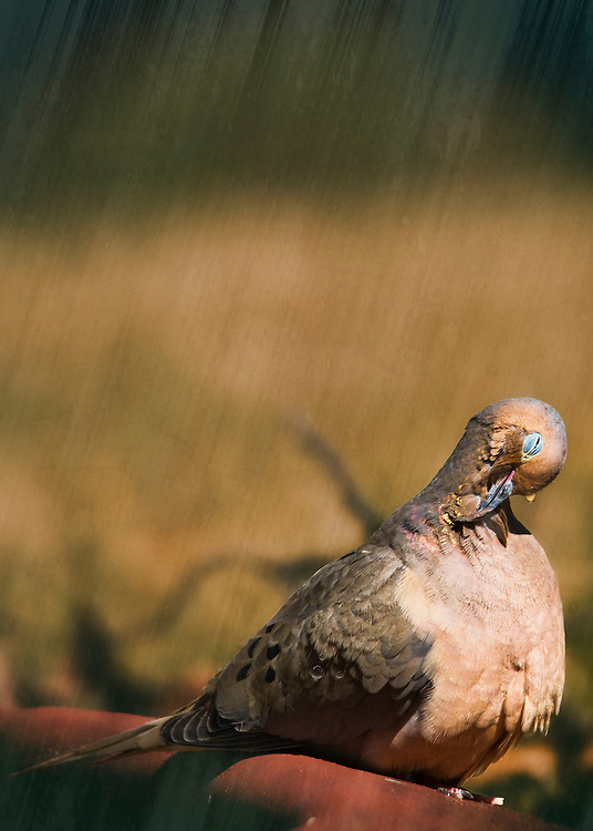 A Mourning Dove Preens Her Feathers. Preening forms part of all healthy grooming and bathing behaviors. Other than the obvious result of spreading the water and scraping the feathers, the ultimate goal is to make sure every feather is in the correct place and ready for use.