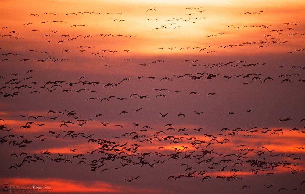 Flocks of Canada geese take flight at sunset at Blackwater National Wildlife Refuge in Cambridge Maryland. BNWR is along the Atlantic flyway and the Chesapeake Bay. Hundreds of thousands migratory waterfowl pass through each fall and spring.
