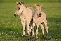 Konik horse, young foals. Oostvaardersplassen, Netherlands. Mission: Oostervaardersplassen, Netherlands, June 2009.