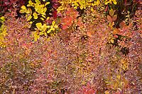 Huckleberry (Vaccinium membranaceum) in autumn, Takh Takh Meadow, Gifford Pinchot National Forest, Cascade Mountain Range, Washington, USA