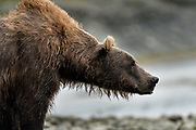 A brown bear sow known as Bearded Lady guards her cubs at the McNeil River State Game Sanctuary on the Kenai Peninsula, Alaska. The remote site is accessed only with a special permit and is the world's largest seasonal population of brown bears in their natural environment.