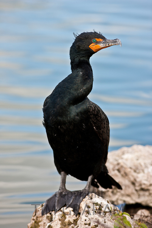 Cormorant, Everglades, Florida, United States of America