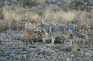 Coyote, Canis latrans, Grand Teton National Park, Wyoming, USA