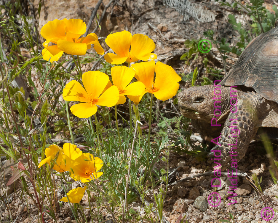 Gold poppies (Eschscholzia sp.) visited by desert tortoise (Gopherus agassizii) in rocky desert upland of the Sonoran Desert, Saguaro National Park, Arizona, © David A. Ponton