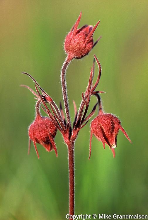 Three-flowered avens (Geum triflorum) flowers<br /><br /><br />Canada