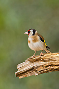 European goldfinch (Carduelis carduelis) perched on a twig. These birds are seed eaters although they eat insects in the summer. with selective focus and an out of focus green background Photographed in israel in April