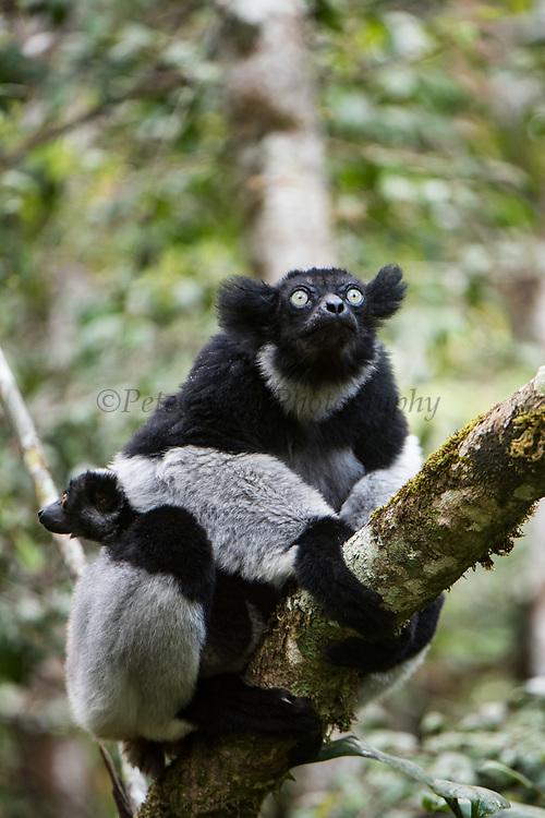 Indri (Indri indri)<br /> East Madagascar<br /> Mantadia National Park<br /> MADAGASCAR<br /> ENDEMIC<br /> Critically endangered