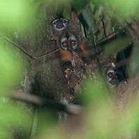 Young squirrel monkeys (Saimiri sciureus) peek from a tree top nest.