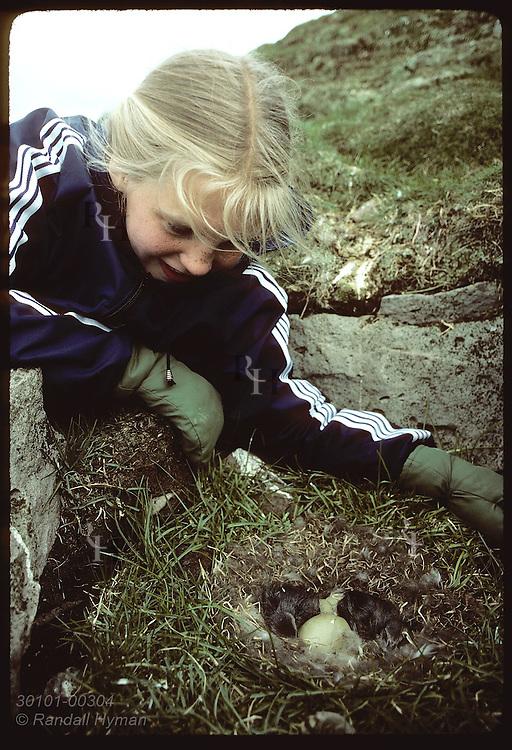Gudrun Thorbergsdottir admires eider ducklings in nest on Vigur Island in June. Iceland