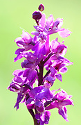 Early Purple Orchid, Orchis mascula, Park Gate Down, Kent Wildlife Trust, UK