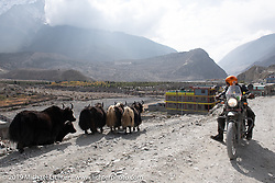 Cool Beans Chris Marino riding a Royal Enfield Himalayan past a herd of Yaks outside Marpha during Motorcycle Sherpa's Ride to the Heavens motorcycle adventure in the Himalayas of Nepal. On the fourth day of riding, we went from Kalopani to Muktinath. Thursday, November 7, 2019. Photography ©2019 Michael Lichter.