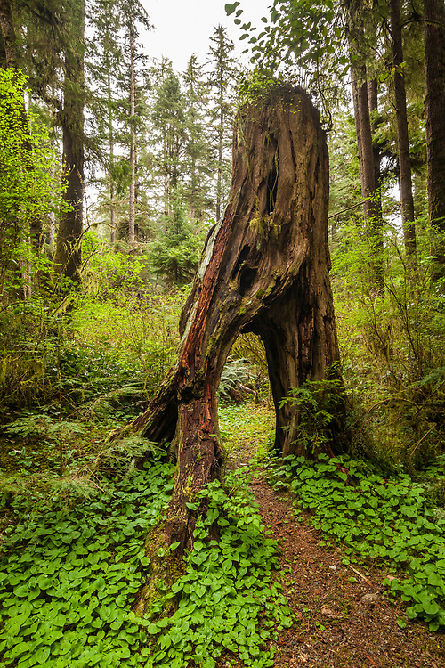 An old tree stump with a hole through it, Mora Campground, Olympic National Park, Washington, USA.