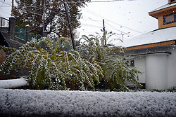 View of snow covered plants in Srinagar, the summer capital of Indian controlled Kashmir. Kashmir witnessed its first snowfall.
