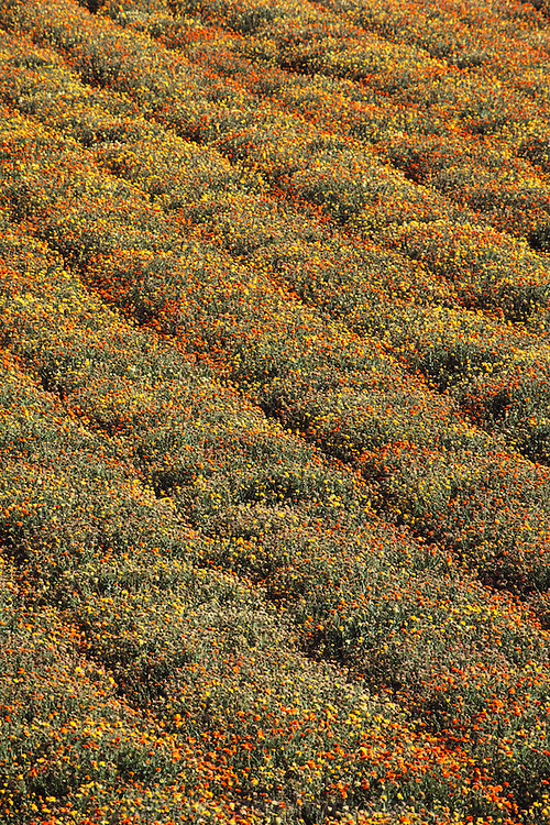 Flowers grown for seed: Lompoc, California.