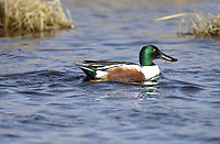 Northern Shoveler (Anas clypeata) swimming in slough, adjacent to Route 22x near Calgary, Alberta, Canada                    Photo: Peter Llewellyn