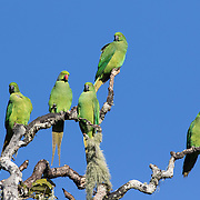 A group of echo parakeets, Psittacula eques, in Black River Gorges National Park